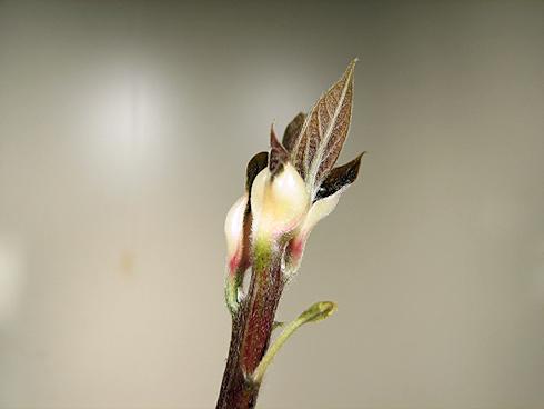 アボカドの茎が伸びる