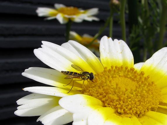 シュンギクの花に集まる虫たち