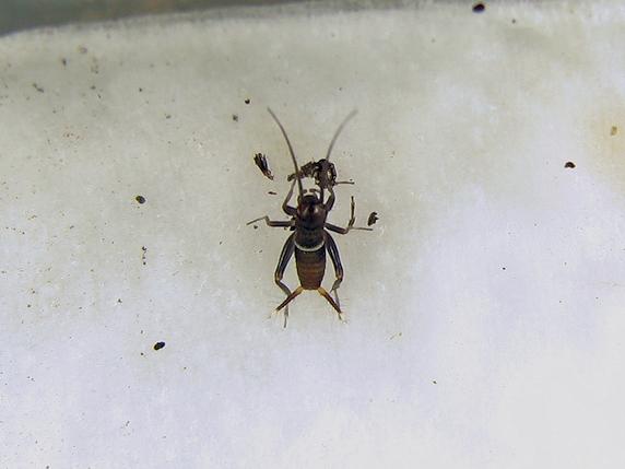 脱皮後に皮を食べるエンマコオロギの幼虫