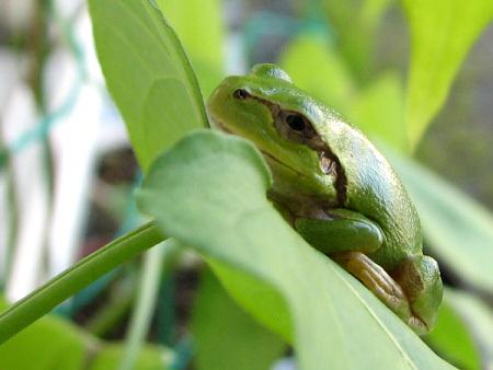 写真館-アサガオの葉とカエル
