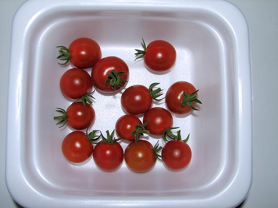 ミニトマト13個収穫