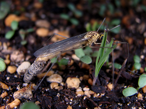 キイロホソガガンボの羽化