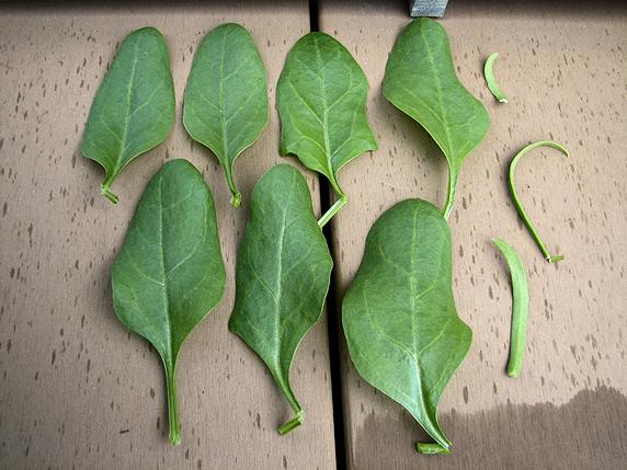 レタス虫害、ホウレンソウ風害