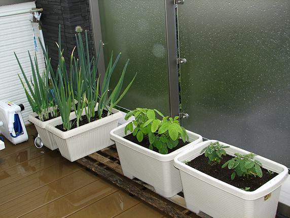 雨のベランダ菜園