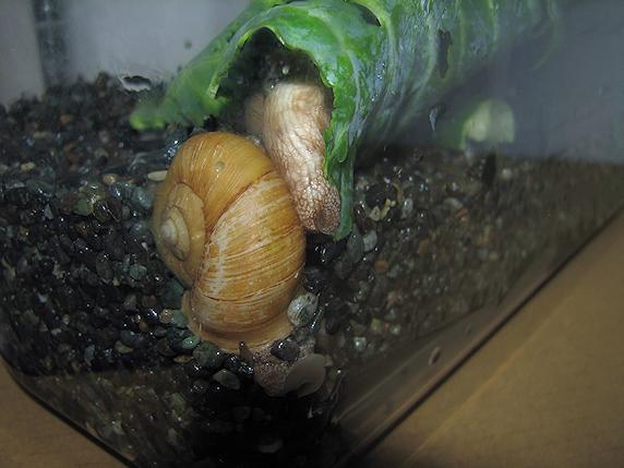 カタツムリ老夫婦の産卵