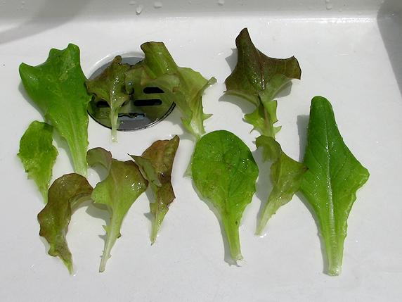 サラダミックスの収穫2回目
