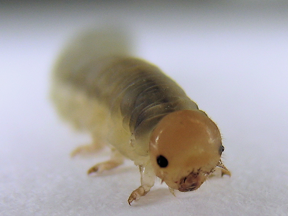 ハバチの幼虫