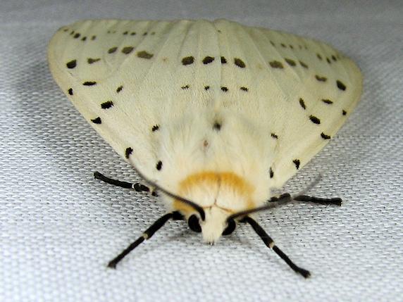 ♀白♂茶、クワゴマダラヒトリ