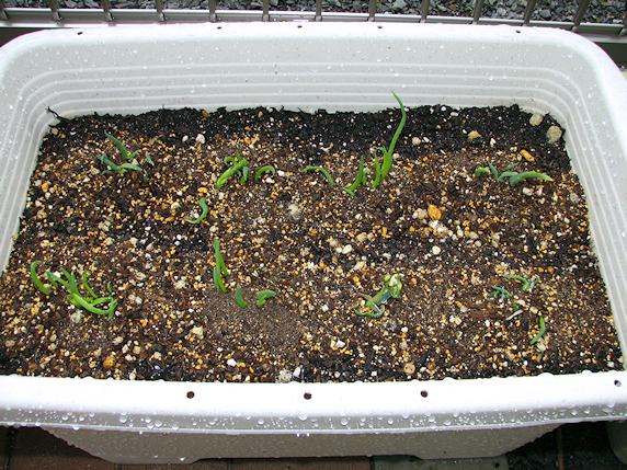 サンガイネギの子ネギ定植