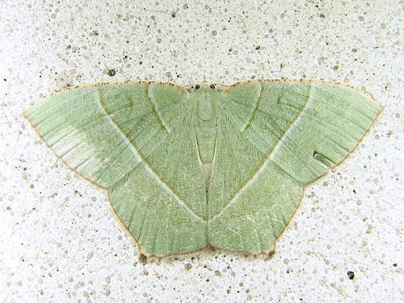 淡い緑のシロオビアオシャク