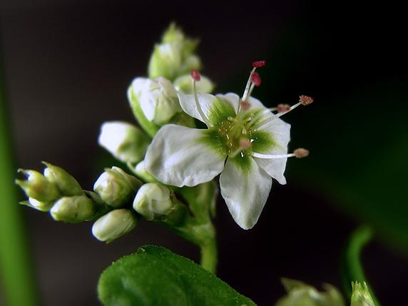 ソバの花とか三つ葉とか