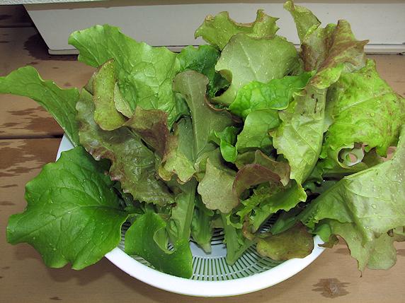 サラダミックスの収穫3回目