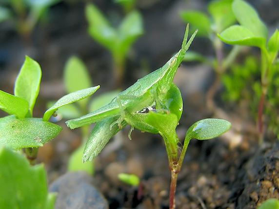 オンブバッタの幼虫発見