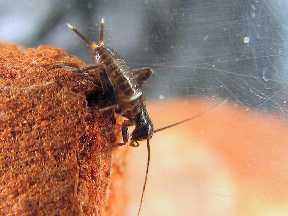 体長5mmのエンマコオロギの幼虫
