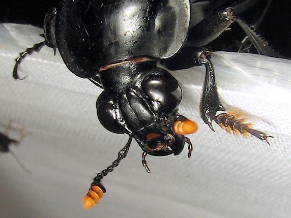 体長4cmのクロシデムシ