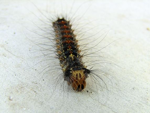 終齢脱皮直前のマイマイガの4齢幼虫