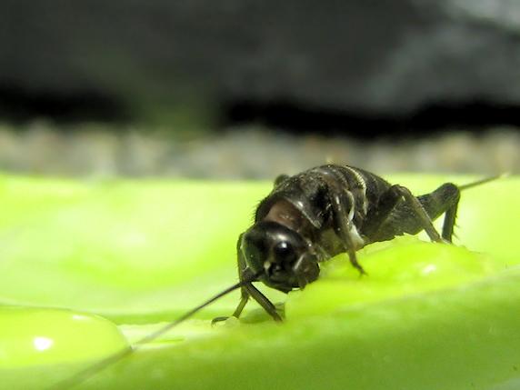 ササギを食べるエンマコオロギの幼虫
