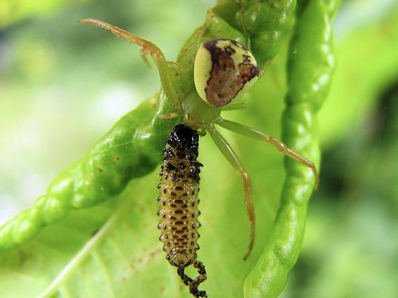 サンゴジュハムシの幼虫を捕えたハナグモ