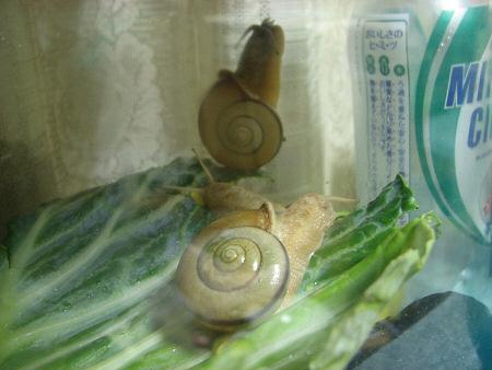 キャベツを食べるカタツムリ