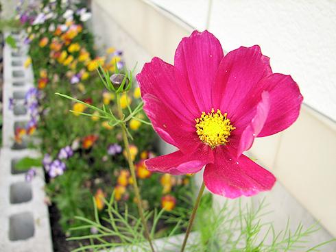 今年初めてのコスモス開花