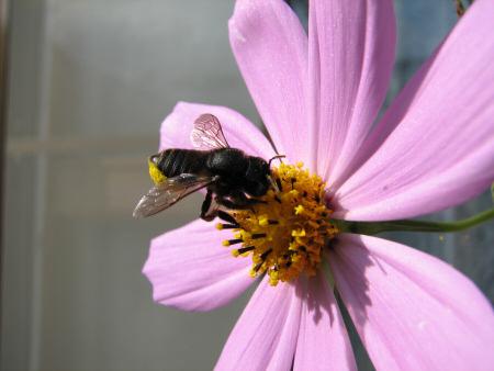 写真館-コスモスに来たハチ