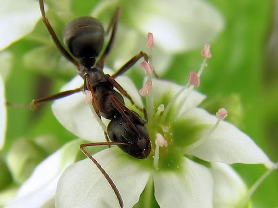 アリに人気のソバ蜜
