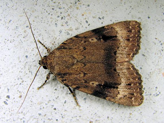 オオシマカラスヨトウという蛾