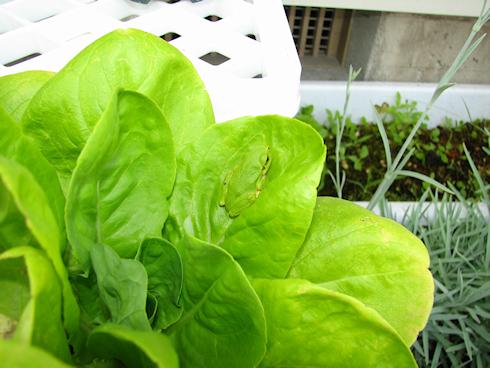 サラダ菜に擬態するカエル