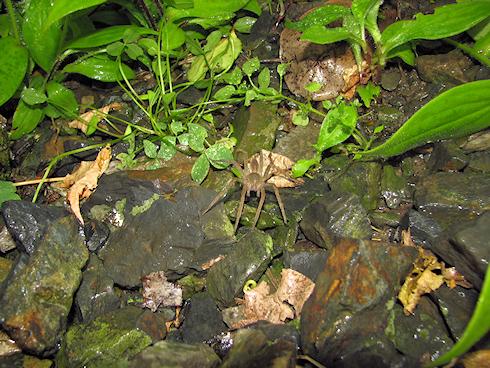 大型のクモ、イオウイロハシリグモ