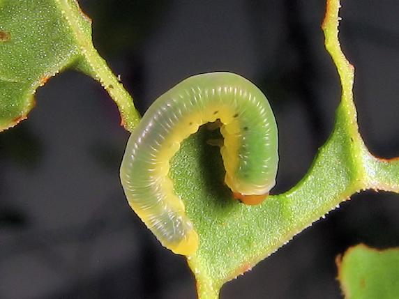 食欲旺盛のハグロハバチの幼虫
