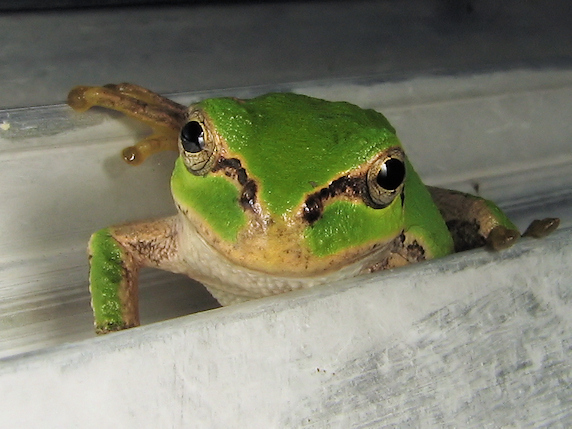 馴れた視線のカエル