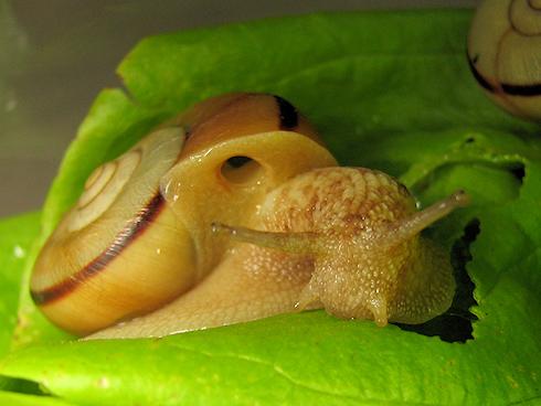 カタツムリに自家栽培サラダ菜投入