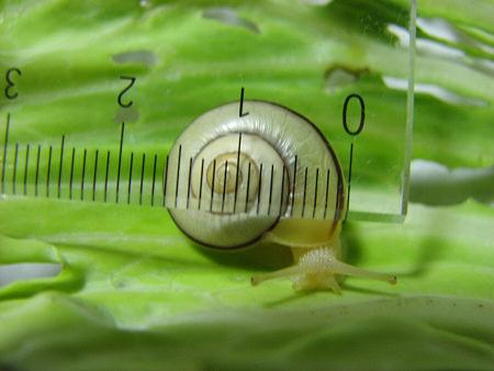 カタツムリの子どもたちの身体測定