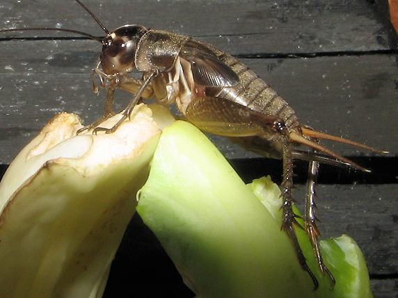 枝豆を食べるエンマコオロギの幼虫