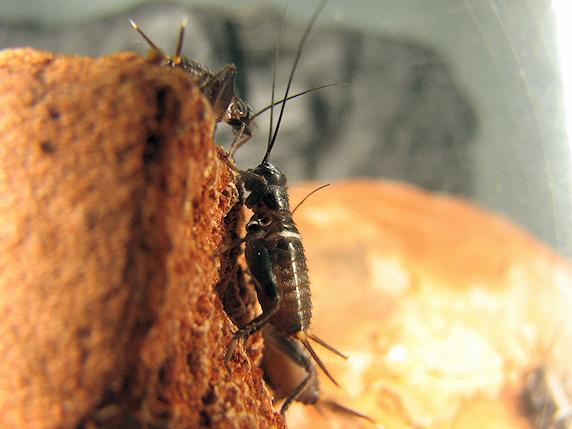 体長8mmのエンマコオロギの幼虫