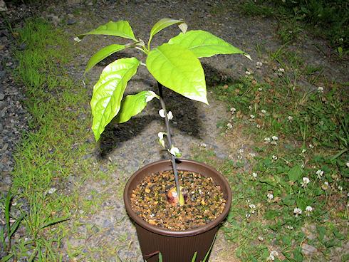 すでに観葉植物なアボカド
