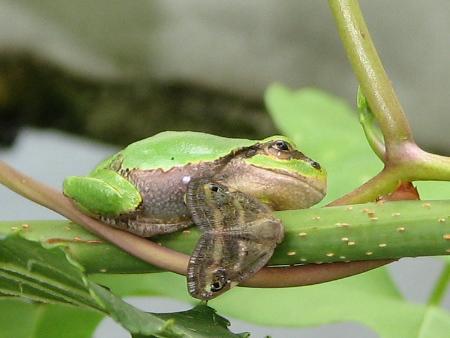 ベッコウハゴロモと友だちのカエル