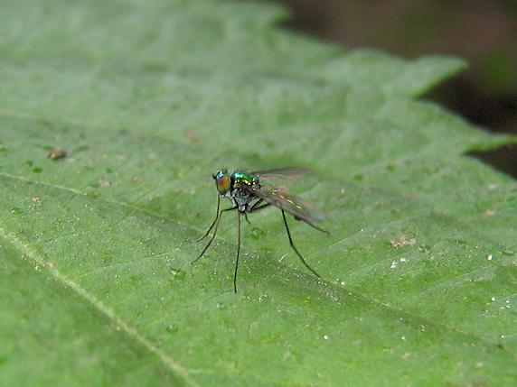 名前も姿も玉虫色のニセアシナガキンバエ