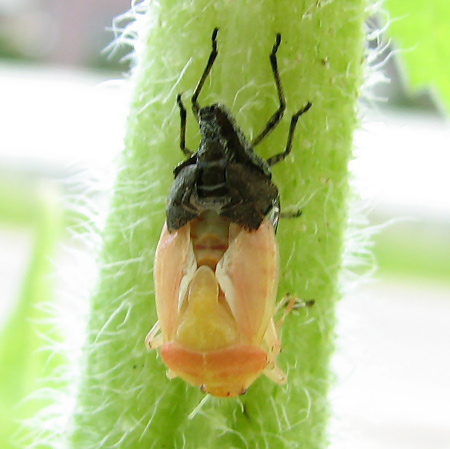 写真館-ブチヒゲカメムシの羽化