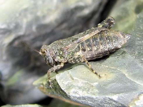何かのバッタの幼虫