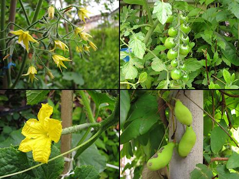 家の庭の野菜たち