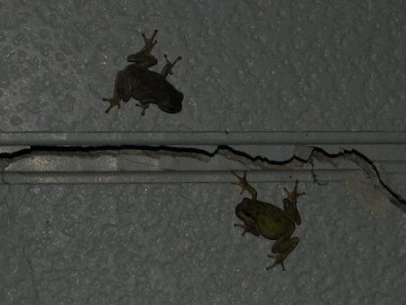写真館-カエルの夜の密会