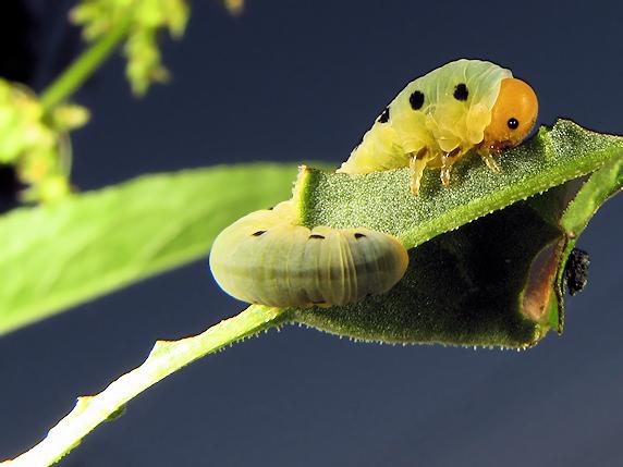 萌え幼虫のハグロハバチ