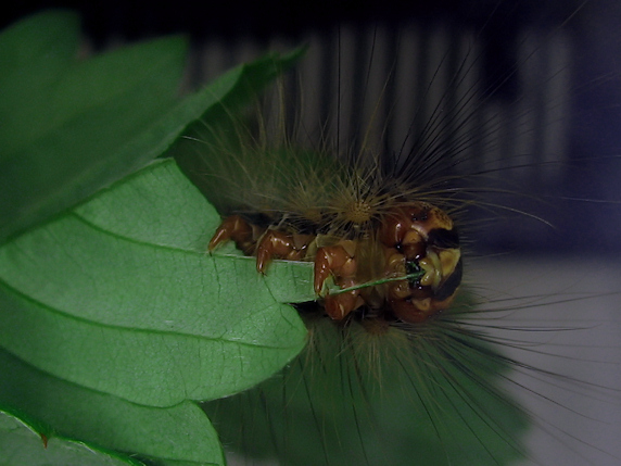 イチゴの葉を食べるマイマイガの幼虫