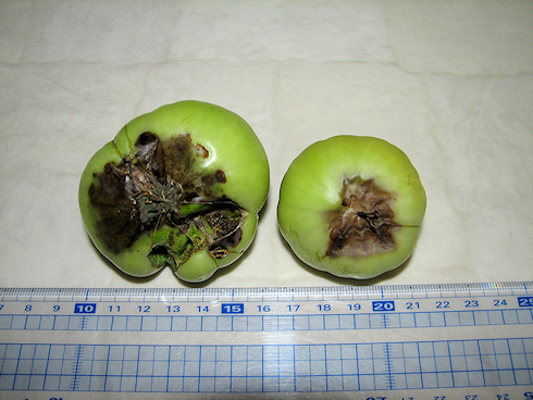 トマトの現状と栄養障害