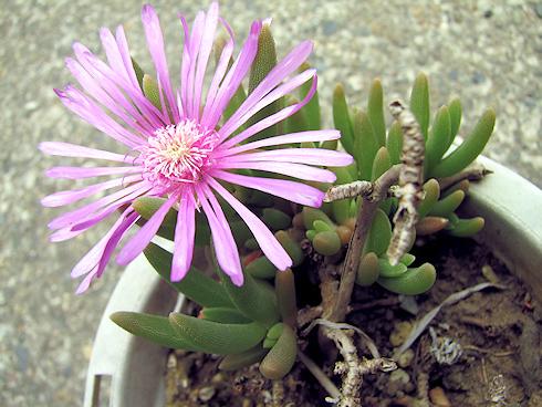 松葉菊が開花