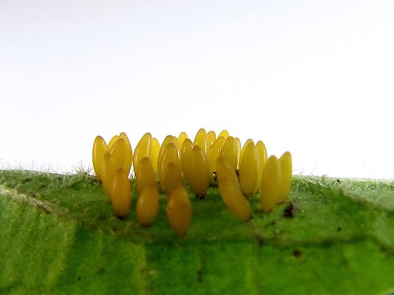 ニジュウヤホシテントウの卵
