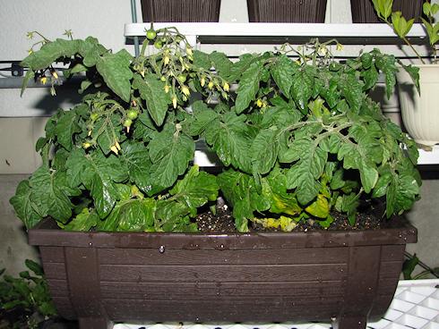 果房が目立つ矮性ミニトマト