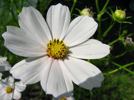 コスモス開花