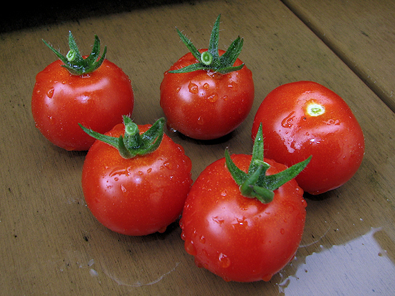 ミニトマトの初収穫とトウガラシの初肥大